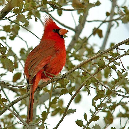 A red cardinal perches in the branch of a tree.