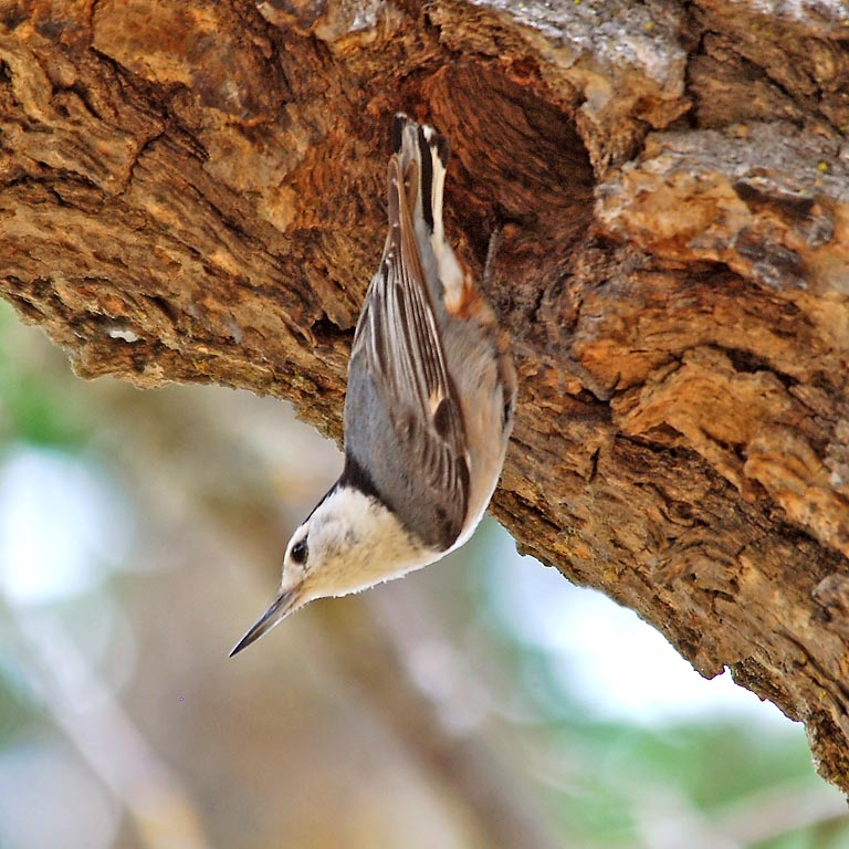 A tan songbird called a nuthatch hangs from the brown bark of a tree.