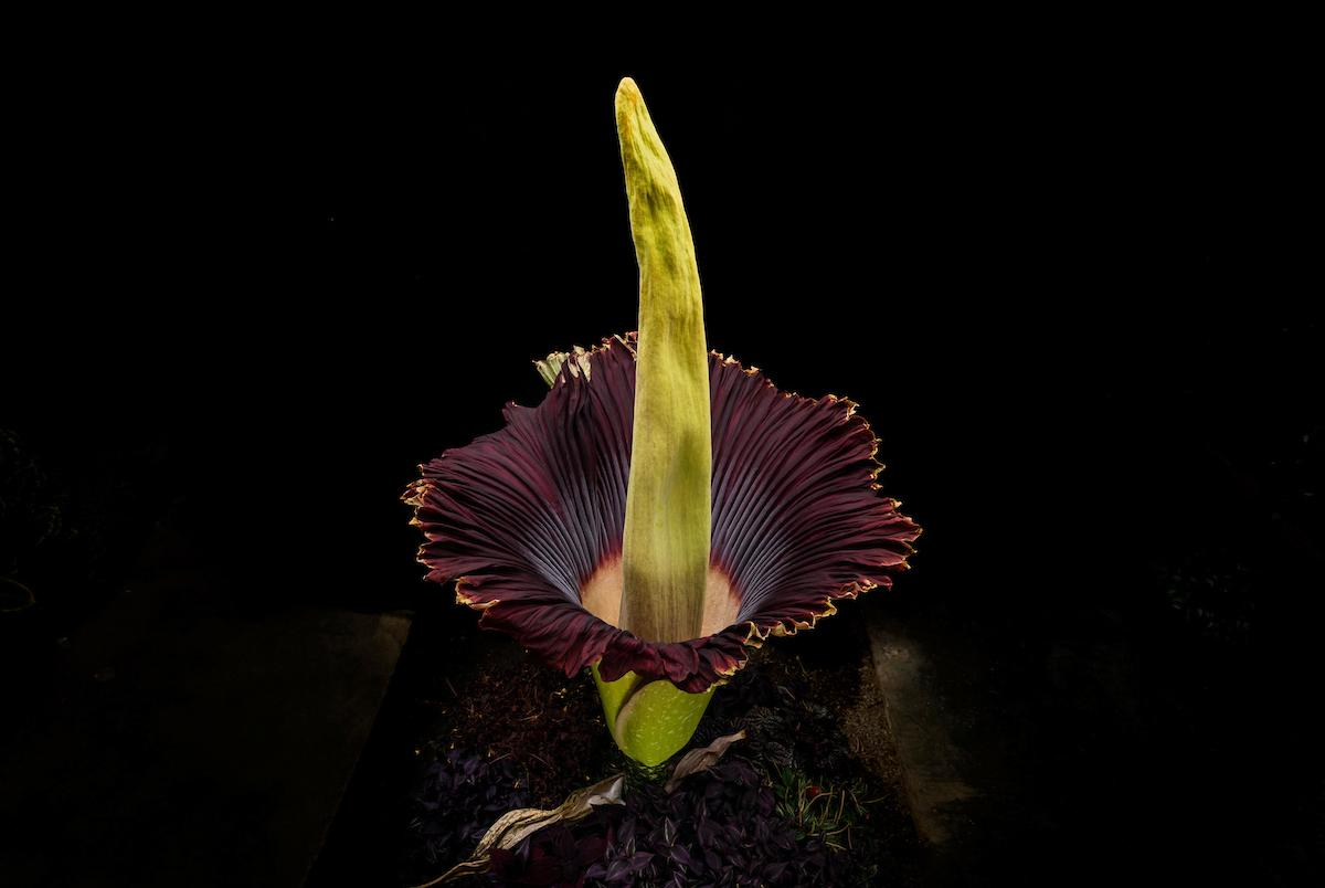 A Once In A Lifetime Experience Corpse Flower Bloom Creates Learning Opportunity For Students And Community Cal Poly