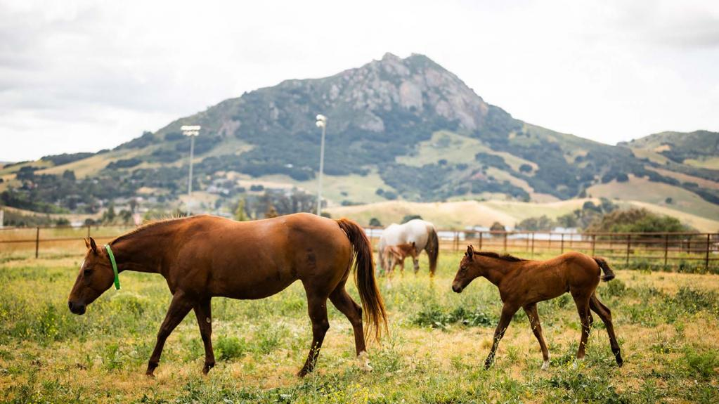 Horses and foals eat grass with a mountain in the background